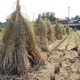 Test Project on Bioethanol Fuel from Rice Straw Starts in Akita
