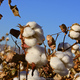 Senshukai Launches Project to Popularize Organic Cotton