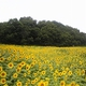 Sunflowers to Help Revitalize City at Foot of Mt. Fuji