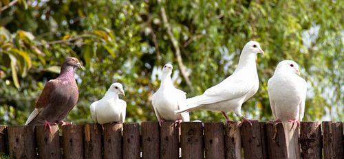 Photo: White dove