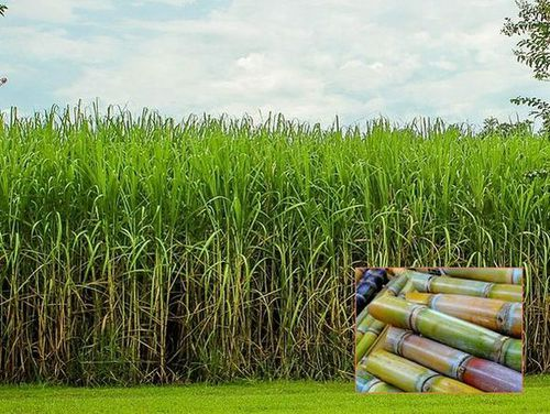 Photo: Sugarcane field and harvested sugarcane.