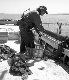 Photo: Scallop cultivation, oyster cultivation