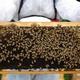 金沢大学、ミツバチの大量死とネオニコチノイド農薬との関わりを解明