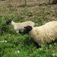 みんながうれしい! JR西日本「羊プロジェクト」