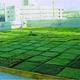 コケとヨシの屋上緑化パネル、室内温度を6度低減