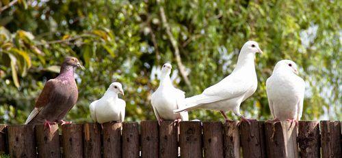 写真:白鳩