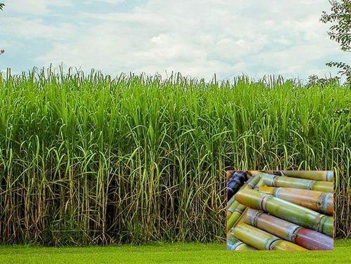 写真: サトウキビ畑と収穫したサトウキビ