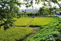 雑草で再エネ発電を実現、電力と熱は農業に生かす