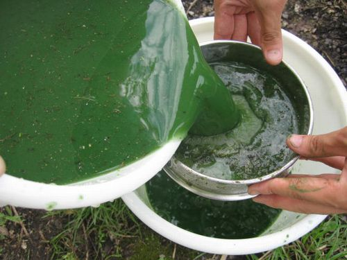 JFS/Japanese Institute Succeeds in Extracting 'Green Crude Oil' from Blue-Green Algae