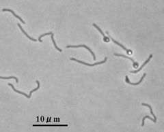 JFS/Hemicellulose-Degrading Bacterium Isolated from Livestock Feces