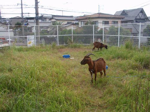 JFS/Rental Goat