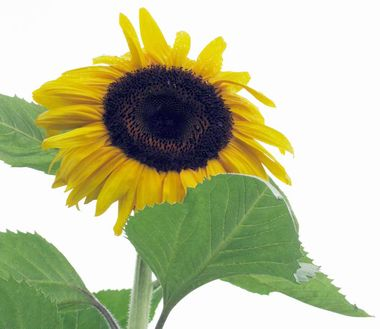 Sunflower_Project.jpg