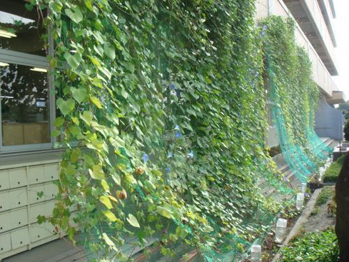 Green Curtains Of Plants To Climb School Walls Across