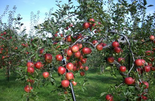 "JFS/Making the Impossible Possible -- ""Miracle Apples"" and Natural Cultivation"