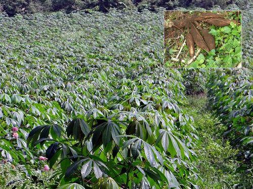 写真:キャッサバ畑と収穫したイモ